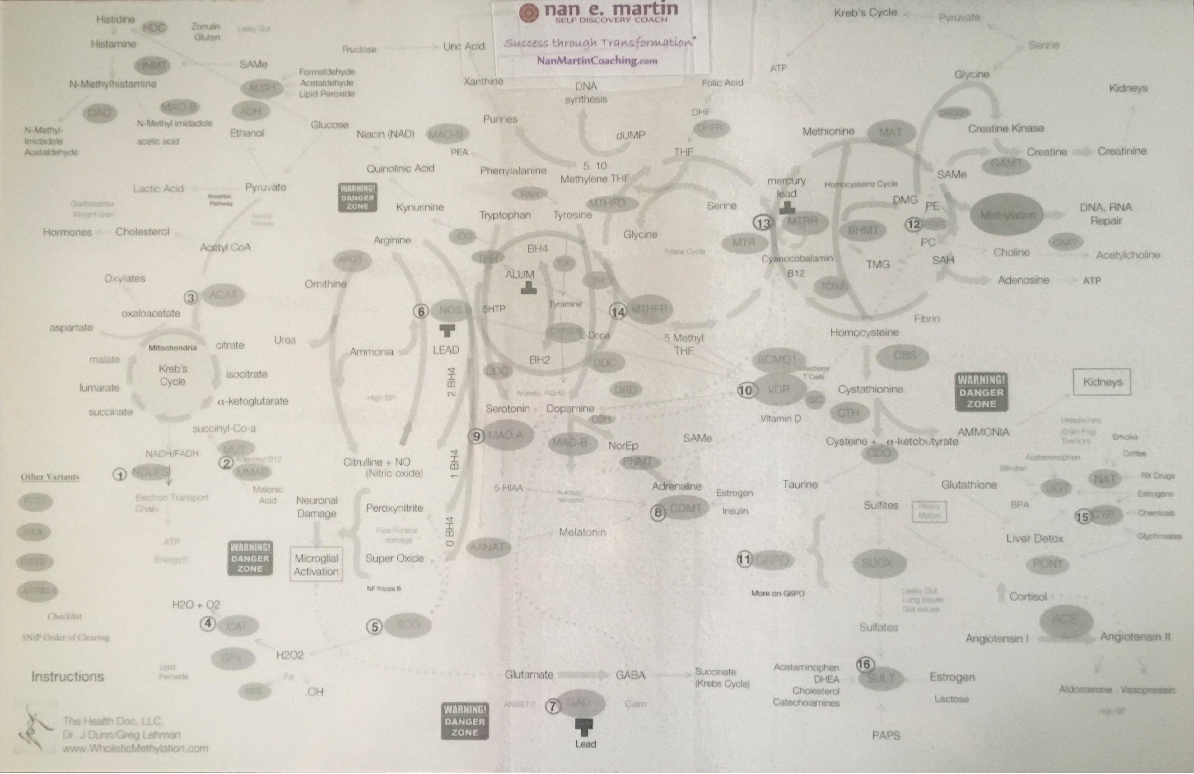 methylation cycle diagram